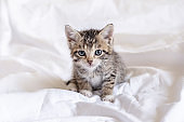 Funny wet striped tabby cute kitten sitting after taking bath on white bed. Clean kitty pet