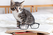 Striped kitten with book and eyeglasses lying on white bed. Clever cute little domestic cat. Education and back to school