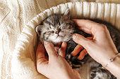 Cute little tabby kitten sleeps in the female palms