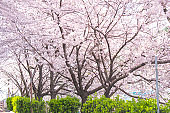 Cherry blossoms and sky in full bloom