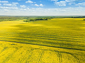 Drone view of a beautiful flowering rapeseed field on a sunny spring day. Quadrotor filming.