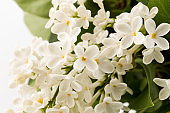 beautiful blooming white lilac flowers. Macro photo. Blossoming common Syringa vulgaris lilacs bush white cultivar.
