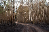 Birch forest after fire, burned trunks of the trees. dirt road in the middle of the woods