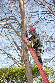 Worker climbing on ladder to prune a tree