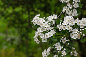 Hawthorn white flowers blooming in spring