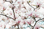 Blooming magnolia tree branch, spring time concept