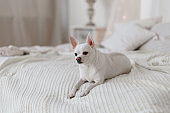 Small white cute Chihuahua dog resting on bed on a sunny day on white knitted blanket.