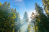 sunlight through trees and morning mist