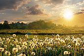 dandelion field in rural landscape at sunset