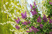 lilac blossom in the garden