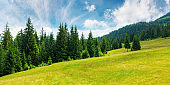 coniferous forests in mountains
