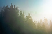spruce trees in morning mist