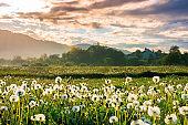 dandelion field in rural landscape at sunrise