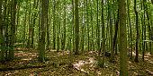 dense beech forest in summer