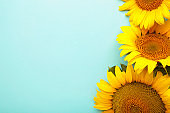 Beautiful fresh sunflowers on blue background. Flat lay, top view, copy space. Autumn or summer Concept, harvest time, agriculture. Sunflower natural background.
