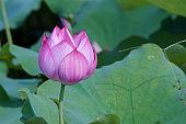 Beauty of water lotus flower in bloom