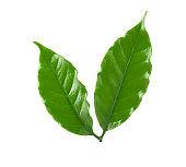 Arabica coffee leaf on a white background, Coffee leaf on a white background, leaves of arabica coffee isolated on white background, clipping path.