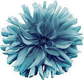 light  blue  flower dahlia  on a white  background isolated  with clipping path. Closeup. shaggy  flower for design. Dahlia.