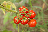 Ripe tomatoes growing on bushes in the garden.