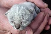 Little gray kitten sleeping in human hands