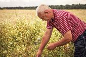 Herbalist men collecting herbs in rural field in countryside