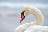 Portrait of large white mute swan next to sea, close up