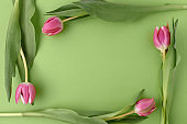 spring flat lay with tulips isolated on green background