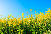 Rapeseed flowers and natural landscape blooming in summer