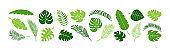 Summer palm leaf vector green plant, exotic nature set. Jungle illustration