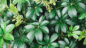 Green dwarf umbrella tree (Schefflera arboricola) in a garden