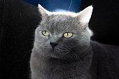 Domestic Cat british shorthair