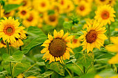 Sunflowers blooming in the field. harvest and agriculture in summer season