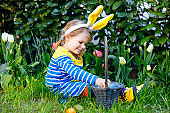 Cute little toddler girl with bunny ears having fun with traditional Easter eggs hunt on warm sunny day, outdoors. Happy child celebrating family christian holiday with basket with colored egg