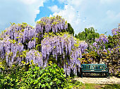 The great garden wisteria blossoms in bloom. Wisteria alley in blossom in a spring time. Germany, Weinheim, Hermannshof garden