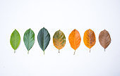 Closeup eaves in different color and age of the jackfruit tree leaves. Line of colorful leaves in autumn season. For environment changed concept. Top view or flat lay background and banner.