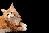 Beautiful red Maine Coon kitten, isolated on black background. Space for text, copy-space.