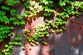 Ivy growing up on a weathered wooden wall