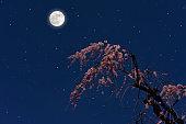 벚나무 위로 떠오르는 보름달