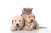 Puppy Golden Retriever Dogs and gray kitten on white