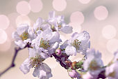 Prunus subhirtella, the winter-flowering cherry. Close-up on buds and flowers. Soft focus with lights in bokeh. Desaturated natural pink and light purple toned background