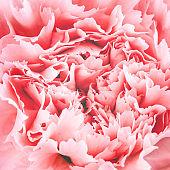 Macro of carnation flower.