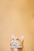 Close Up Head, Snout Of Peaceful Orange Red Ginger Tabby Cat Male Kitten Looking Up On Yellow Background. Copy Space