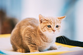 Small Cute Scottish Cat Kitten With Straight Ears At Blurred Indoor Background. Scottish Cat Kitten