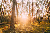 Beautiful Sunset In Autumn Coniferous Forest. Sunlight Through Woods In Fall Forest Landscape. Moss Ground
