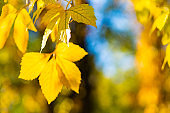 Beautiful maple leaves in autumn sunny day. Yellow leaves in autumn park on blurred background