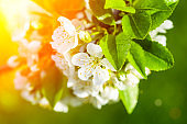 Blossom apple tree spring background. Blooming tree in spring against the background of a sunny spring sky.