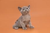 Kitten of the European Burmese gray color