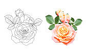 roses and outline