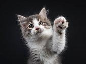 Siberian kitten on black background