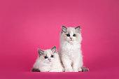 Ragdoll cat kittens on pink background